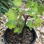 gooseberry thornless