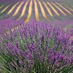 lavender french