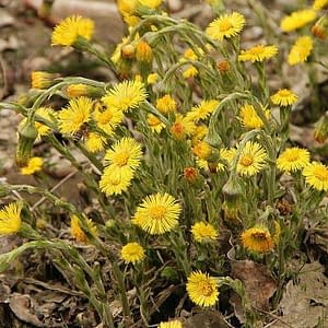 coltsfoot